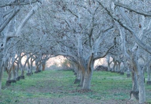 walnut in winter